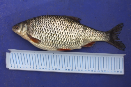 cypriniformes: the caught and measured fish for the gastronomic purposes