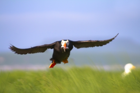 tufted puffin: Tufted Puffin (Lunda cirrhata) flight . Commander Islands Stock Photo