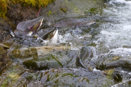 hunchback salmon has directed to a spawning place photo