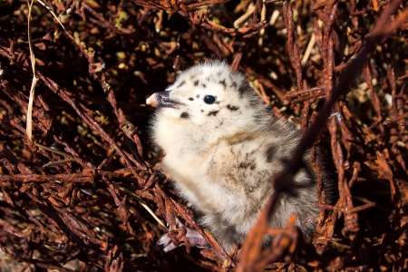 limbo: War traces: attractive baby bird of a seagull who was born among a barbed wire