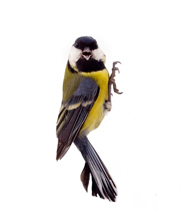 Great tit isolated on white; during winter period. Stock Photo - 16708819