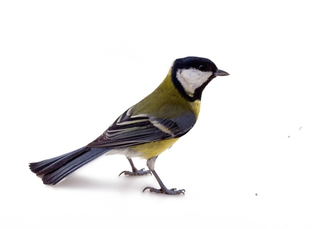 Great tit isolated on white; during winter period.
