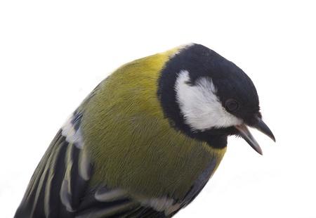 tomtit: Tomtit bird, isolated on white background