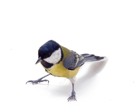 Tomtit bird, isolated on white background Stock Photo - 16855864