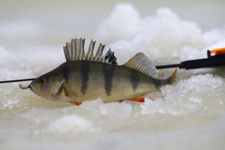 freshwater perch  on the ice fishing first in new year Stock Photo - 16884647