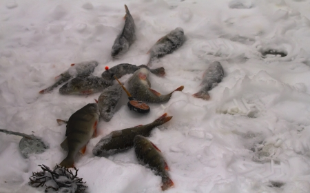 freshwater perch  on the ice fishing first in new year Stock Photo - 16884622