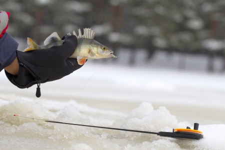 freshwater perch  on the ice fishing first in new year Stock Photo - 16927350