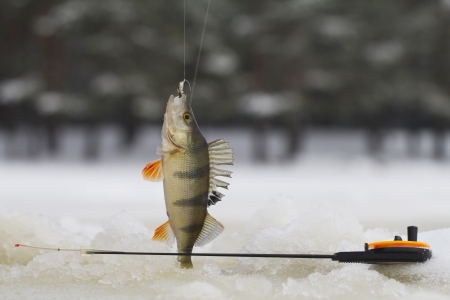 fish in ice: freshwater perch  on the ice fishing first in new year
