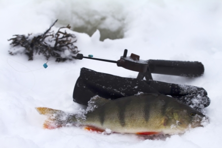 freshwater perch  on the ice fishing first in new year Stock Photo - 16927347