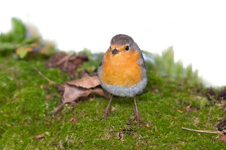redbreast: robin (Erithacus rubecola) close up