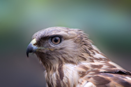 big bird of prey buzzard close up photo