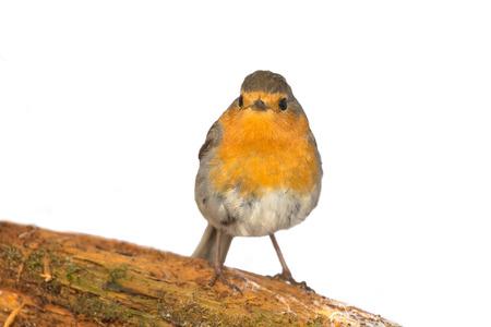 erithacus: robin (Erithacus rubecola) close up