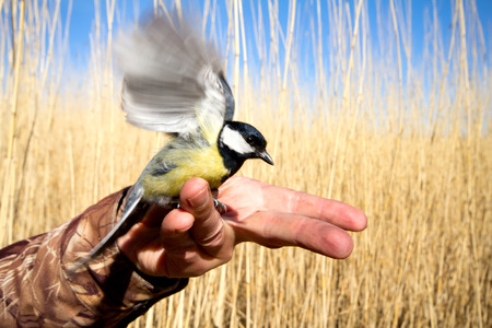 titmouse in a hand against a reed wall photo