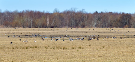 fabalis: spring congestions of geese on fields during migration Stock Photo
