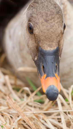 fabalis: bean goose close up in the spring