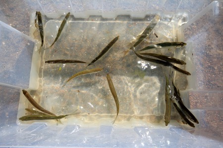 container with the selected small fishes. icthyological works photo