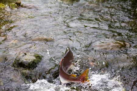 spawning: humpback salmon going on spawning