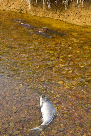 spawning: salm�n jorobado pasando desove