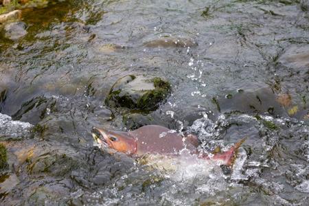 salmon migration: humpback salmon going on spawning
