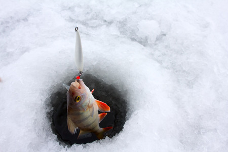 catching of a perch on lakes in the middle of the winter photo