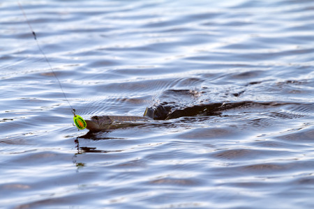 pickerel: we drag a pike from  water