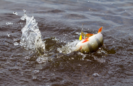 Perch caught in dynamics photo