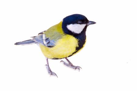 titmouse bird isolated on white Stockfoto