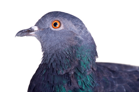 urbanized: pigeon on a white background close up Stock Photo