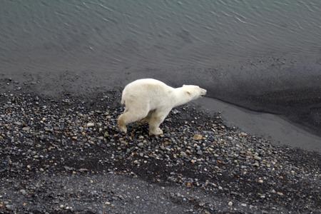 Polar bear in  birds eye panorama. Northern island of Novaya Zemlya photo