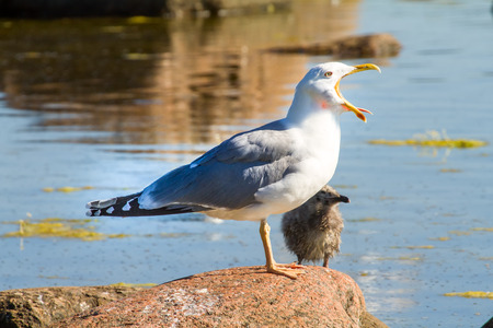colony of birds in the Baltic Sea, a seagull with the child