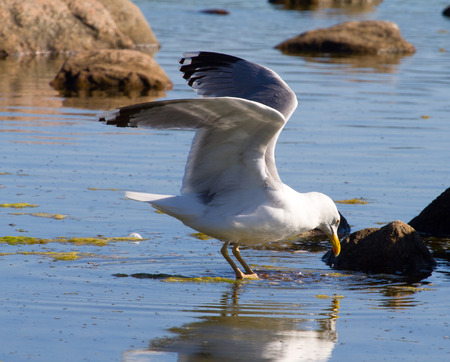 colony: colony of seagulls in the Baltic Sea Stock Photo