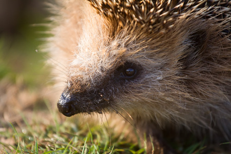 largely: insectivorous animal a hedgehog largely close up Stock Photo