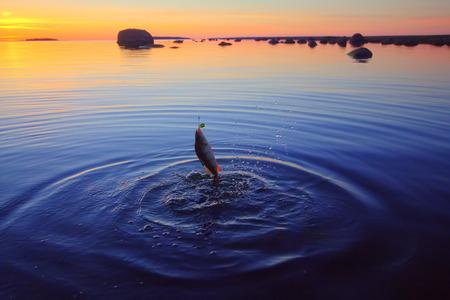pescando: verano la captura de la pesca de una percha en la noche