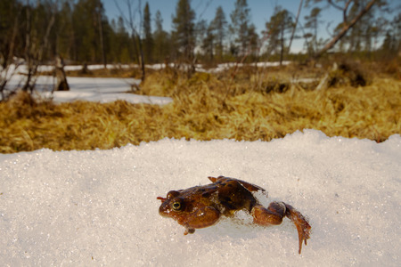 Only just woke up frog migrates through  snow in a reservoir.  closeup, low camera position. Stock Photo