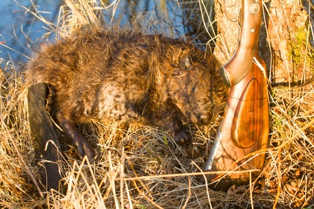 chasing tail: hunting beaver with prey