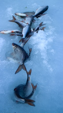 Freshly caught fish on ice in a very windy day