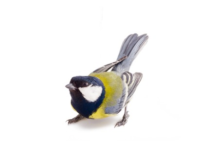 great tit on a branch on a white background