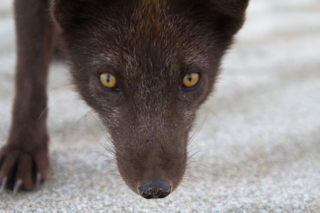 evolutionary: Filmed near the muzzle of a Fox with a sly eyes Stock Photo