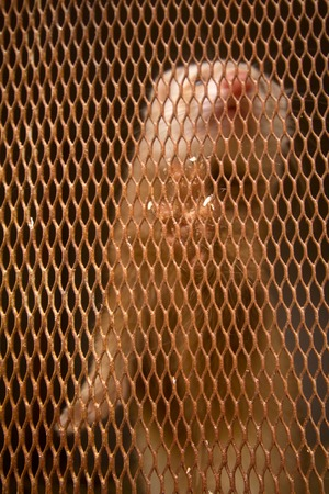 peltry: Mink placed in a cage. Animal, platinum color Stock Photo