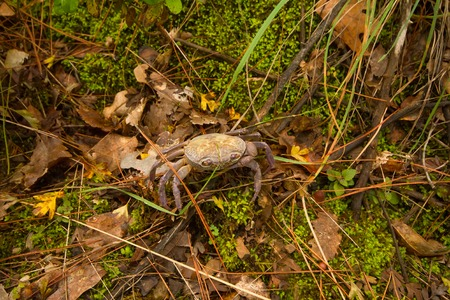 hydrobiology: In the frame shown land crab closeup