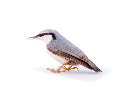 白い閉じるを分離したヨーロッパの鳥 写真素材