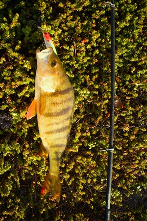 perca: perch fishing in the North in Scandinavia Stock Photo