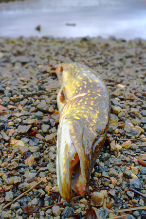 coldwater: big pike cold-water rivers of North begins caught in may