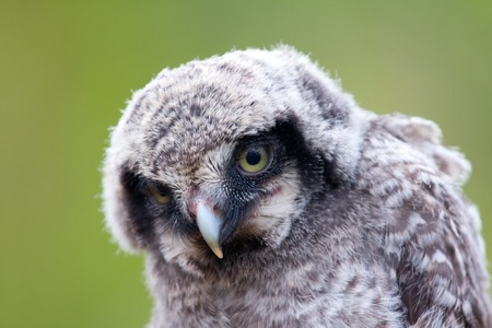 looking at viewer: Cute fluffy owlet looking at the viewer with their yellow eyes. Portrait
