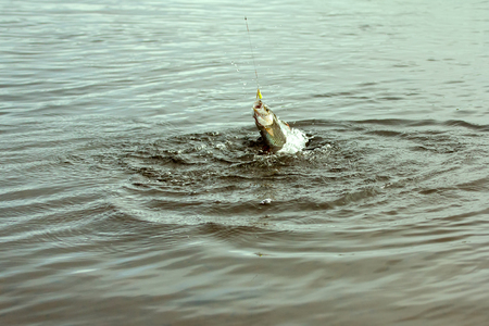 grayling: grayling fishing in the North in Scandinavia