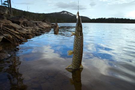 northern pike: pike fishing Northern fish Scandinavia Finnmark