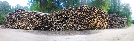 forest management: forestry trunks of birch trees in forest stock