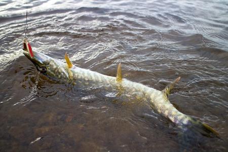 northern pike: pike fishing big Northern fish