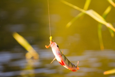 perca: fishing on freshwater lakes in the reeds