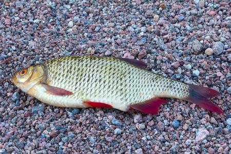 atrapar: la captura de peces Rudd en una playa rocosa